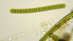 fitoplancton