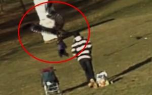 Un parc din Canada. Copil răpit şi scăpat de un vultur VIDEO