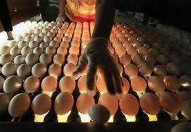 ouăle infestate cu salmonella
