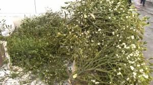 Vâscul: leacul din grădină
