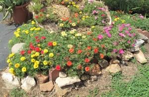 floarea-piatra