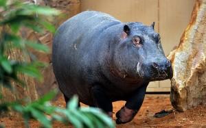 hipopotamul