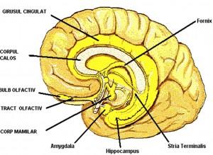 hipocampul